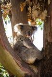 Закройте вверх медведя коалы в дереве Стоковое Фото