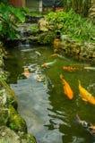 Закройте вверх много больших carpas плавая в пруде, в западном эквадоре, на высоте 1,400m в Mindo, Pichincha Стоковые Фото
