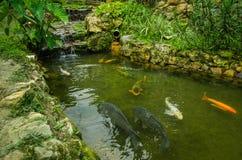 Закройте вверх много больших carpas плавая в пруде, в западном эквадоре, на высоте 1,400m в Mindo, Pichincha Стоковая Фотография