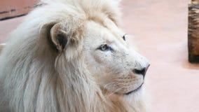Закройте вверх могущественного белого льва акции видеоматериалы