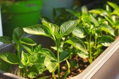Закройте вверх молодого дерева перца красного Chili со свежими зелеными листьями, растущ на windowsill стоковое изображение rf