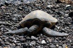 Закройте вверх морских черепах отдыхая на скалистом пляже песка в Мауи Гаваи Стоковые Фото