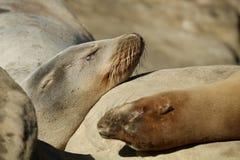 Закройте вверх 2 морсых львев Калифорнии спать на утесах Стоковые Фото