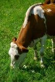 Закройте вверх молочной коровы на выгоне лета Стоковые Фото