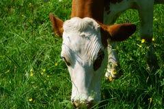 Закройте вверх молочной коровы на выгоне Стоковые Изображения