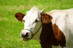 Закройте вверх молочной коровы на выгоне Стоковые Фото