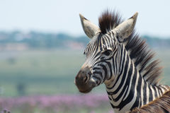Закройте вверх молодой зебры Стоковое Изображение