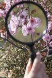 Закройте вверх молодой руки мальчиков держа лупу над вишневым цветом в парке в весеннем времени стоковое изображение