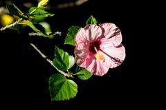 Закройте вверх мягкого розового гибискуса Розы-sinensis стоковая фотография rf