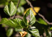 Закройте вверх мягкого розового гибискуса Розы-sinensis стоковые фотографии rf