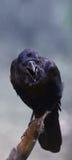 Закройте вверх 3 наблюданного ворона Стоковая Фотография