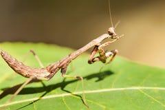 Закройте вверх насекомого богомола Стоковые Фотографии RF