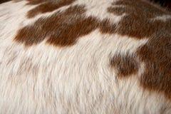 Закройте вверх на белых волосах скотин с коричневыми пятнами Стоковая Фотография RF