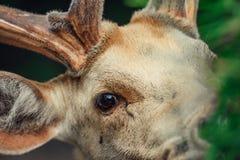 Закройте вверх на глазе оленей стоковое фото