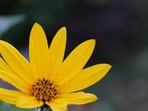 Закройте вверх на желтом цветке стоковое изображение rf