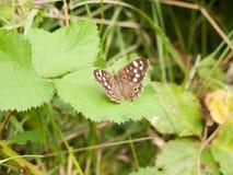 Закройте вверх на запятнанном лист деревянном aegeria Pararge бабочки Стоковая Фотография