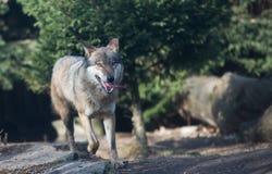 Закройте вверх на пакете волка в лесе Стоковое фото RF