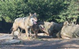 Закройте вверх на пакете волка в лесе Стоковое Изображение