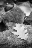 Закройте вверх на пастбищах дерева клена дуба maying на утесе путем пропуская река в черно-белом Стоковая Фотография RF