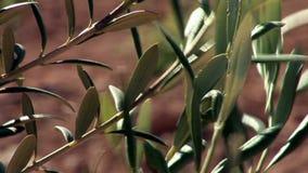 Закройте вверх на прованских листьях акции видеоматериалы