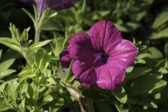 Закройте вверх на фиолетовом Pitunia Стоковые Фото