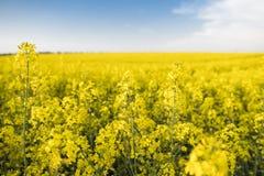 Закройте вверх на цветки завода рапса на бесконечном поле рапса Желтые поля рапсов и голубое небо с облаками в солнечном Стоковое фото RF