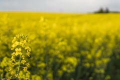 Закройте вверх на цветки завода рапса на бесконечном поле рапса Желтые поля рапсов и голубое небо с облаками в солнечном Стоковая Фотография RF