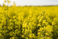 Закройте вверх на цветки завода рапса на бесконечном поле рапса Желтые поля рапсов и голубое небо с облаками в солнечном Стоковые Изображения