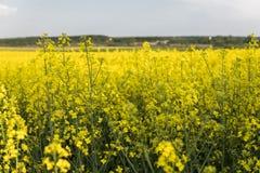 Закройте вверх на цветки завода рапса на бесконечном поле рапса Желтые поля рапсов и голубое небо с облаками в солнечном Стоковое Фото