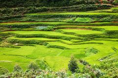 закройте вверх на ярком ом-зелен поле риса, PA Sa, Вьетнаме Стоковая Фотография