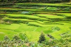закройте вверх на ярком ом-зелен поле риса, PA Sa, Вьетнаме Стоковая Фотография RF