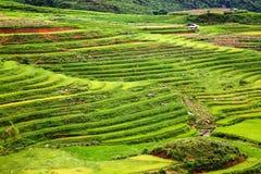 закройте вверх на ярком ом-зелен поле риса, PA Sa, Вьетнаме Стоковое Фото