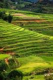 закройте вверх на ярком ом-зелен поле риса, PA Sa, Вьетнаме Стоковые Фотографии RF