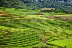 закройте вверх на ярком ом-зелен поле риса, PA Sa, Вьетнаме Стоковые Фото