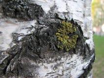 Закройте вверх небольшого пятна зеленого мха на хоботе березы Селективный фокус стоковые изображения rf