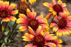 Закройте вверх нескольких цветенй gallardia в саде Стоковое Фото