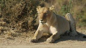 Закройте вверх новичка льва отдыхая в запасе игры mara masai видеоматериал