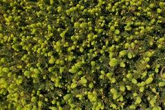 Закройте вверх нового leafage ели весной Стоковое Изображение RF