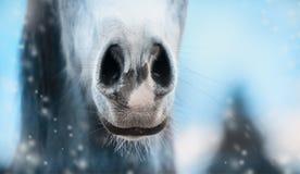 Закройте вверх носа лошади на предпосылке природы зимы Стоковое Изображение RF