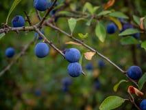 Закройте вверх одичалых голубых ягод в лесе стоковое фото rf