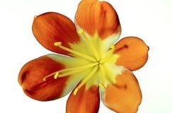 Закройте вверх одной одиночной лилии огня с фокусом полного диапасона на белизне стоковое фото rf