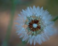 Закройте вверх одуванчика с семенами стоковое фото