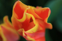 Закройте вверх оранжевого тюльпана с желтыми краями стоковые фотографии rf