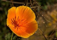 Закройте вверх оранжевого цветка