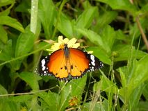Закройте вверх оранжевой бабочки монарха цвета сидя на желтом цветке Стоковая Фотография