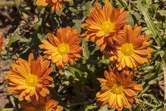 Закройте вверх оранжевых цветков хризантемы на кустарнике Стоковые Фотографии RF