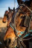 Закройте вверх лошади работы Стоковое Изображение