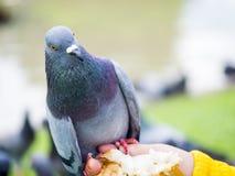 Закройте вверх одиночного голубя на природе Стоковые Фотографии RF