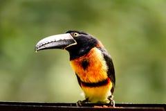 Закройте вверх одичалого зелен-представленного счет toucan dicolorus Ramphastos, красно--breasted toucan Стоковая Фотография