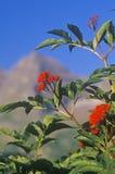 Закройте вверх одичалых ягод, Maroon озера, Aspen, CO Стоковые Изображения RF